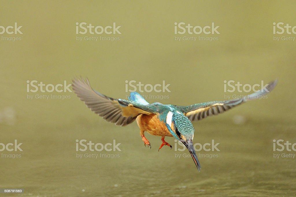 Hovering kingfisher stock photo