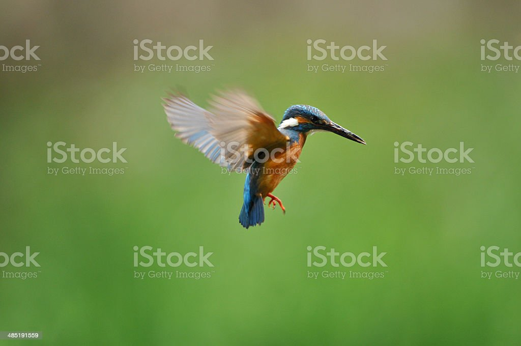 Hovering of the kingfisher stock photo