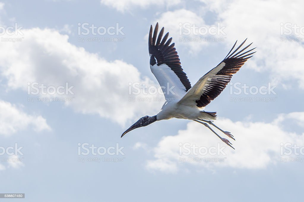 Hovering Stork stock photo