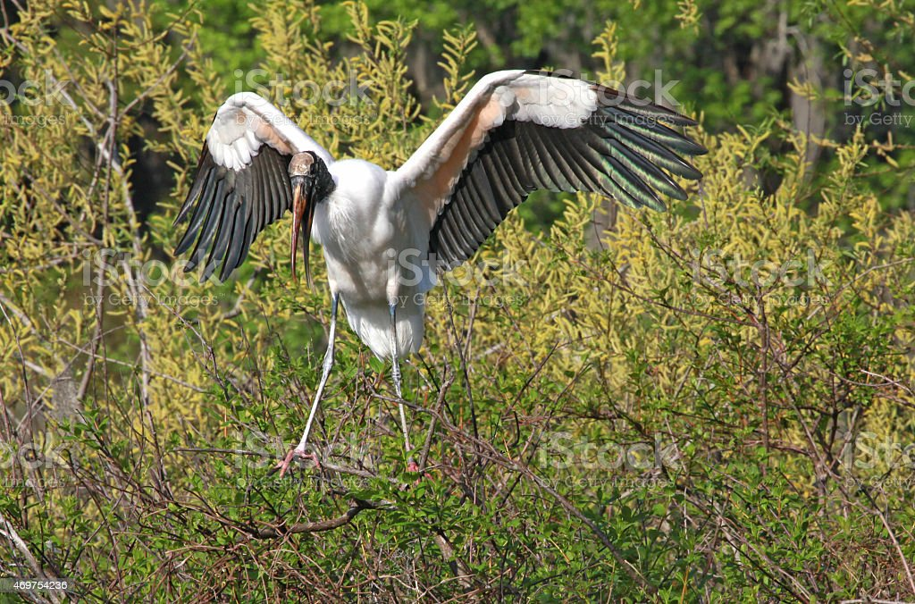 Hovering Wood Stork stock photo
