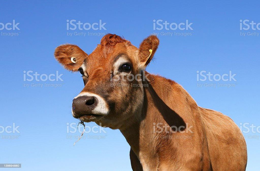 How Now Brown Cow? stock photo