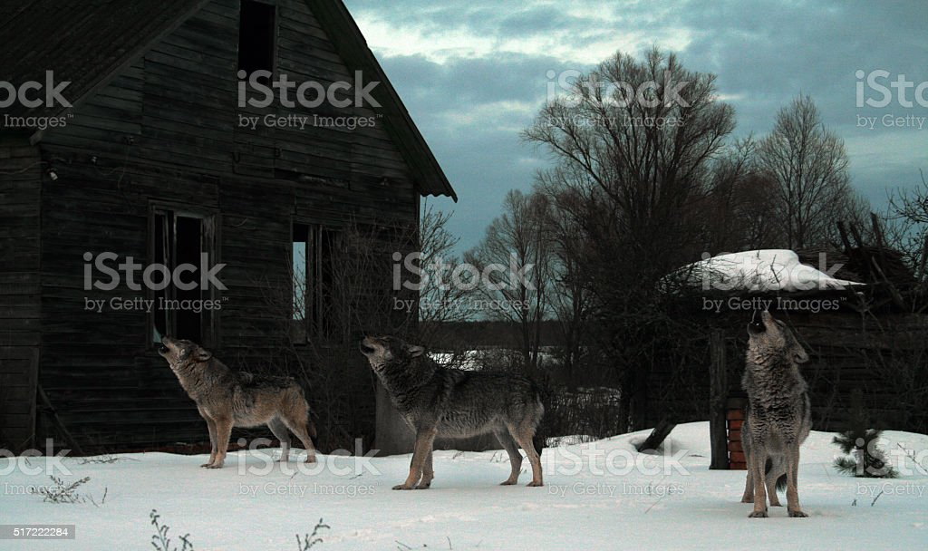 Howhling wolves stock photo