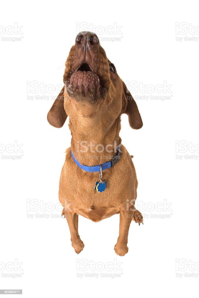 Howl stock photo