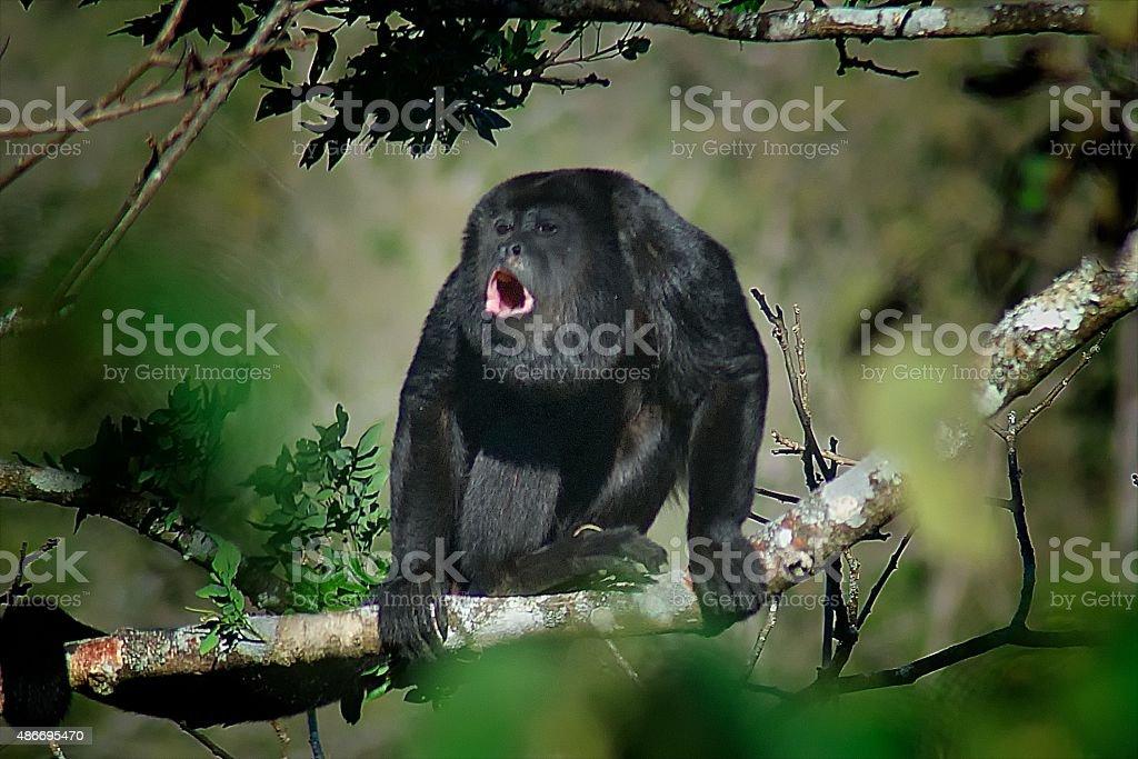 Howler Monkey, Atenas, Central Valley, Costa Rica stock photo