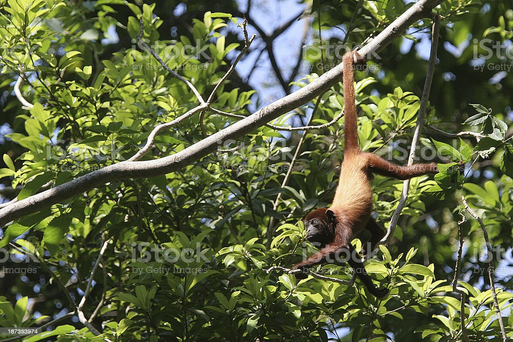 Howler monkey hanging by the tail, Colombia stock photo