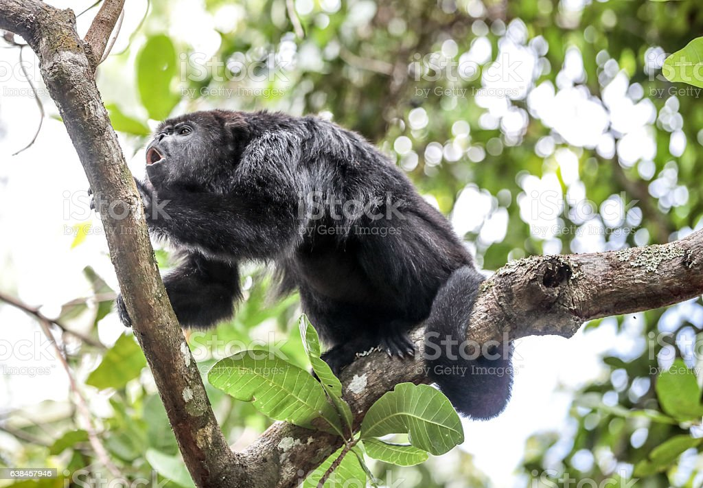 Howler monkey howling on a tree branch in Belize rainforest stock photo