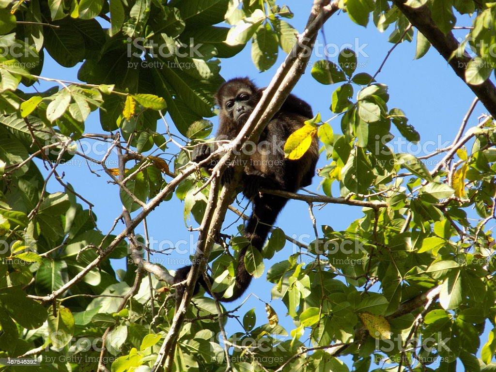 Howler Monkey In Tree stock photo