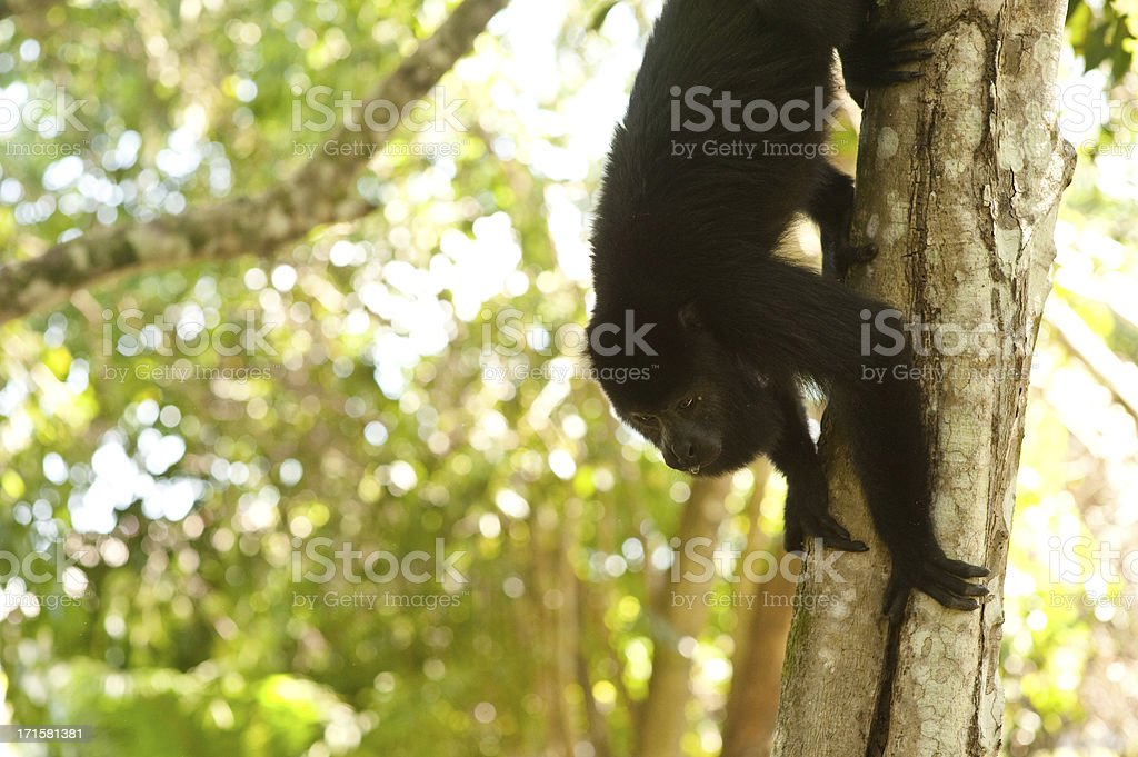 Howler Monkey royalty-free stock photo
