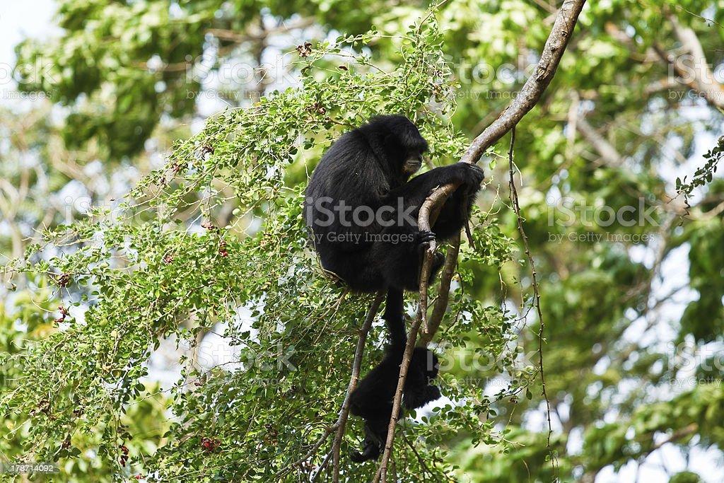 Howler monkey royalty-free stock photo