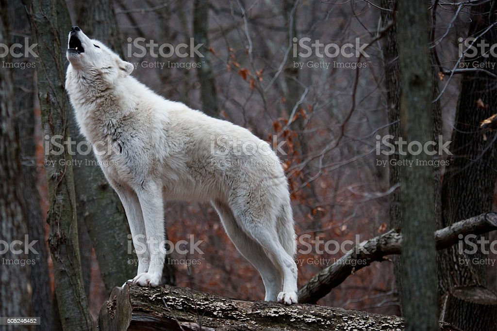 Howling Arctic Wolf stock photo