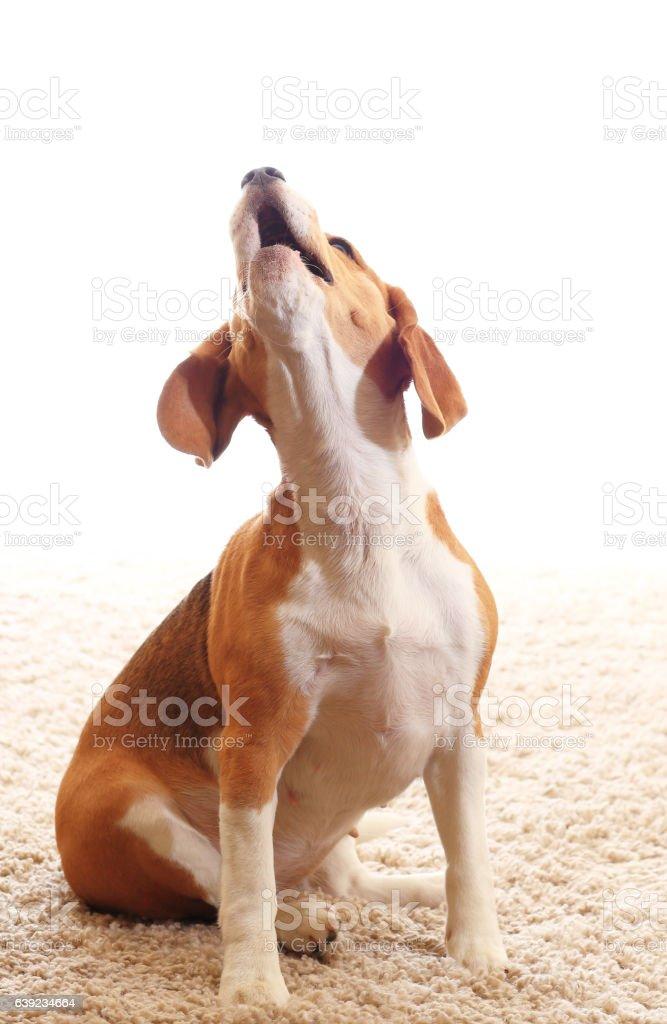 Howling dog isolated on white background stock photo