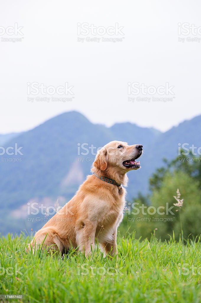 Howling dog royalty-free stock photo
