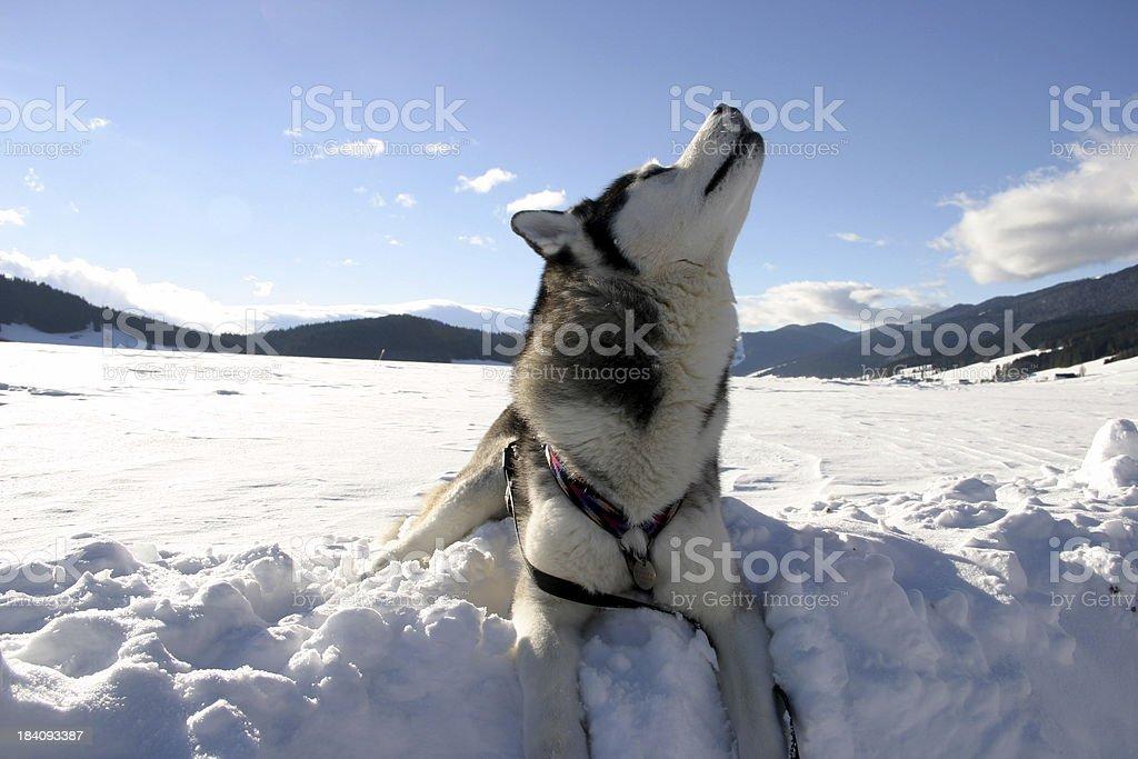 howling dog royalty-free stock photo