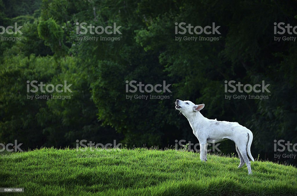 Howling Dog stock photo