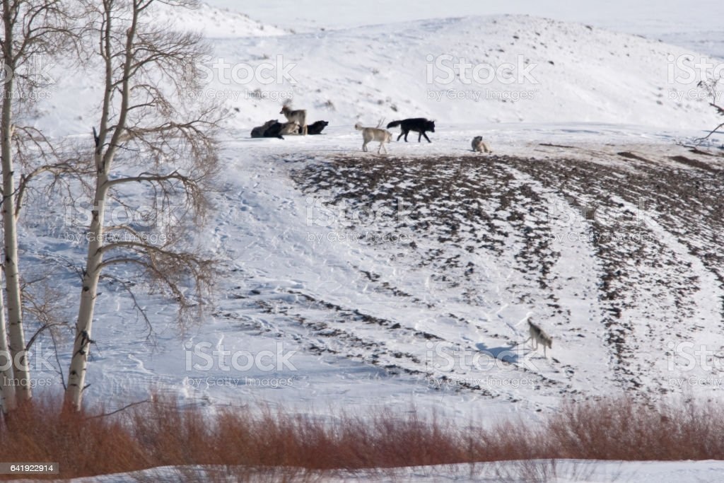 Howling Druid wolf pack snowy Lamar Valley Yellowstone National Park Wyoming stock photo