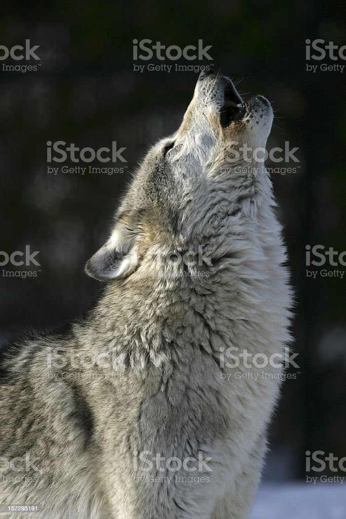 Howling grey wolf. stock photo