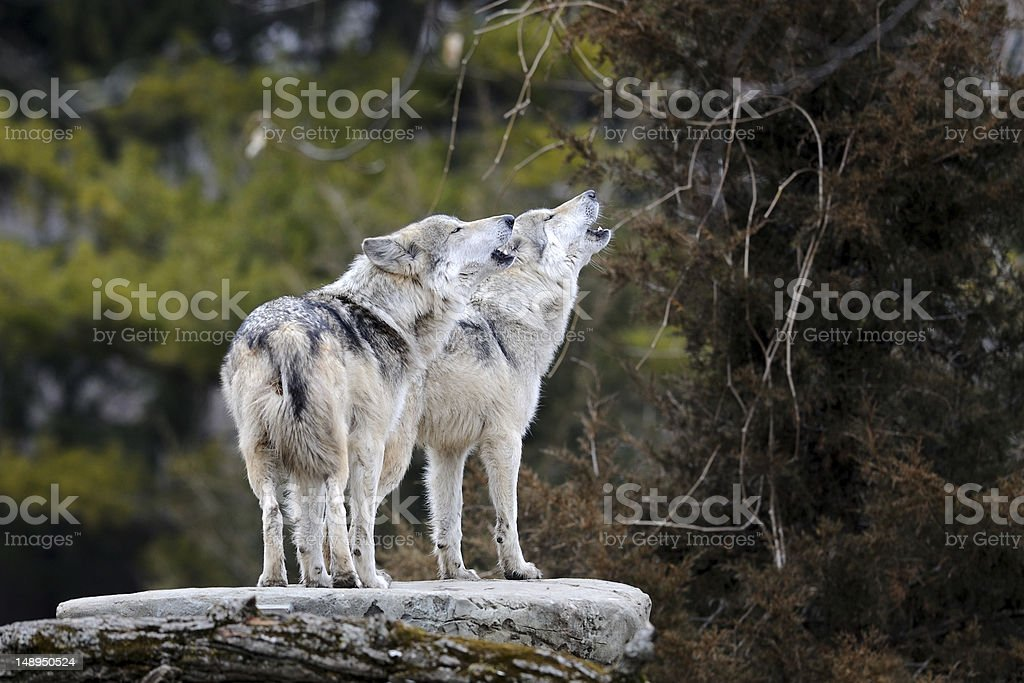 Howling Mexican gray wolves stock photo