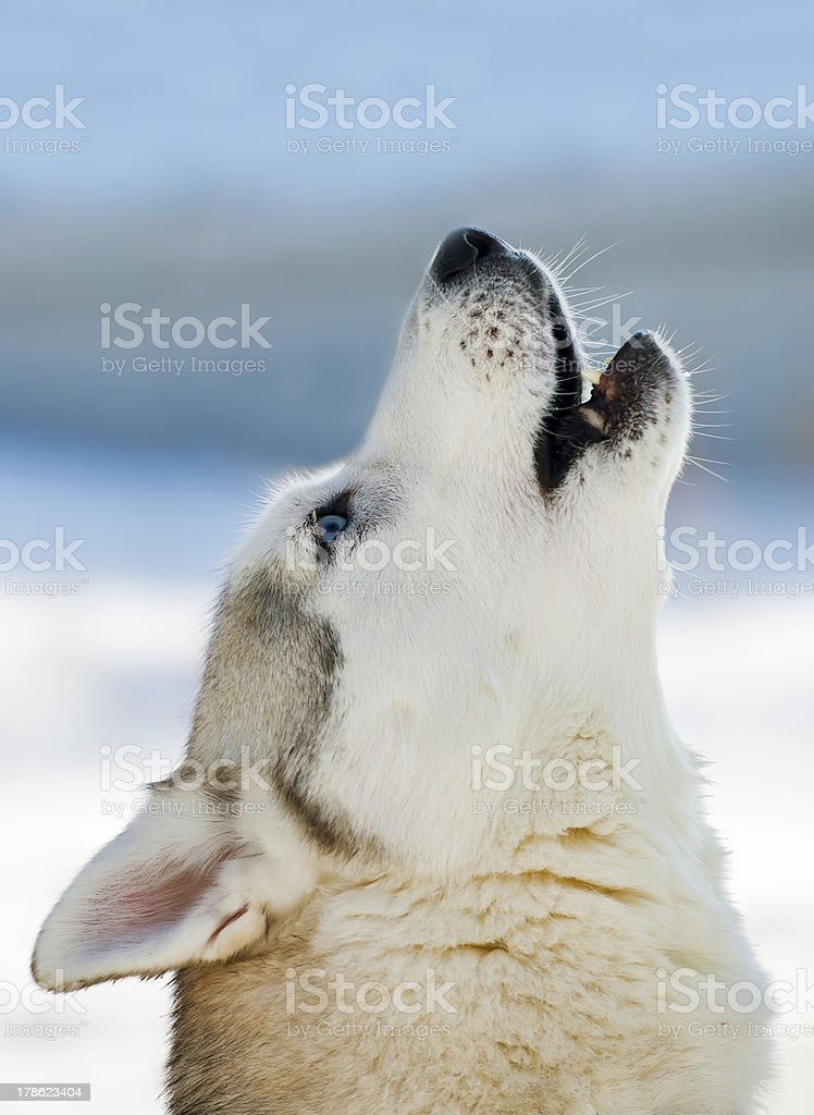 howling stock photo
