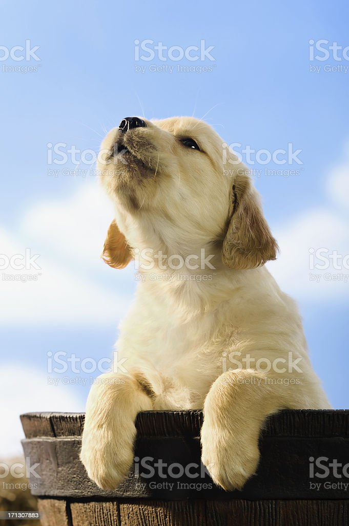 Howling Puppy in Barrel stock photo