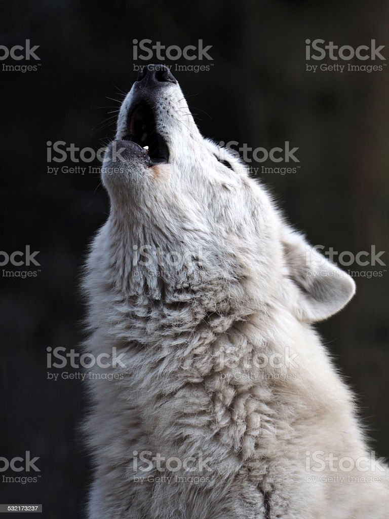 Howling White Wolf stock photo