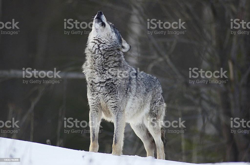 Howling Wolf stock photo