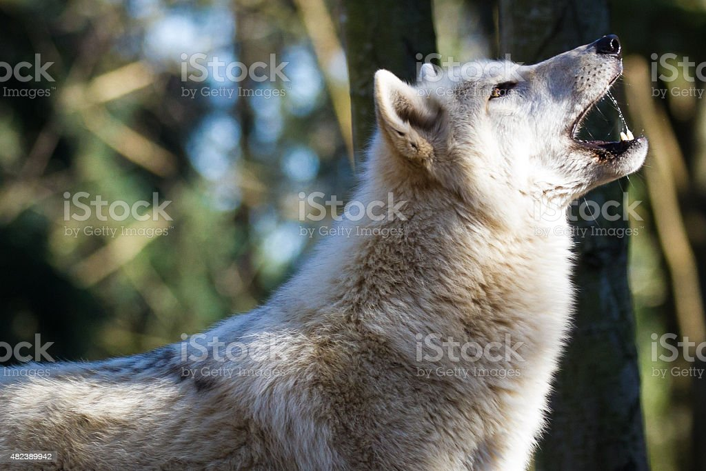 Howling Wolf royalty-free stock photo