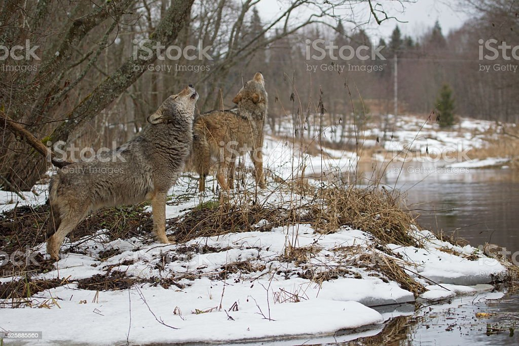 Howling wolves stock photo