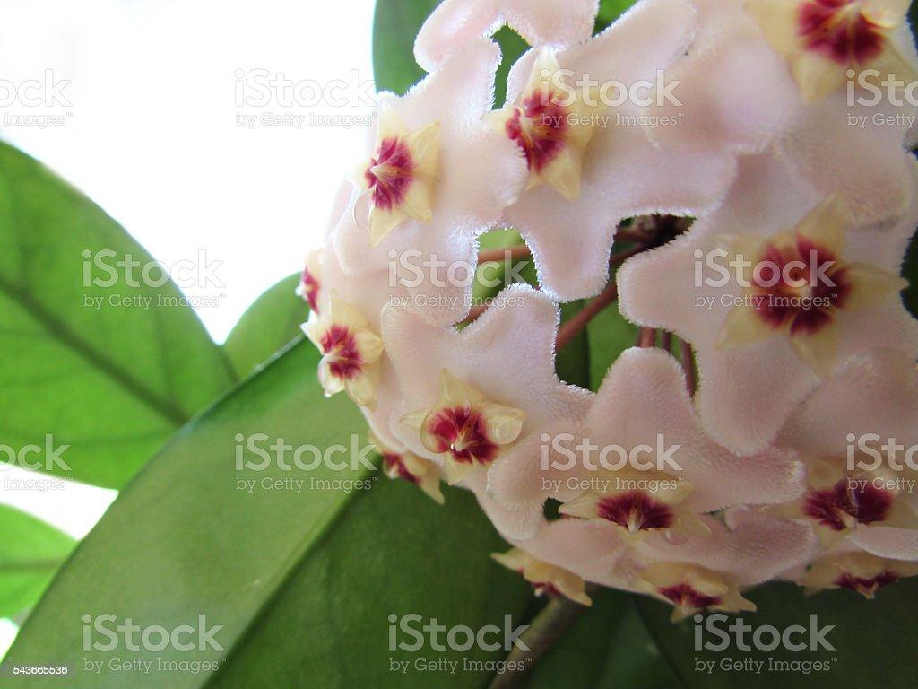 Hoya carnosa stock photo