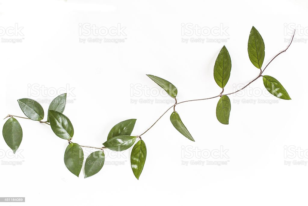 Hoya carnosa-ivy stock photo