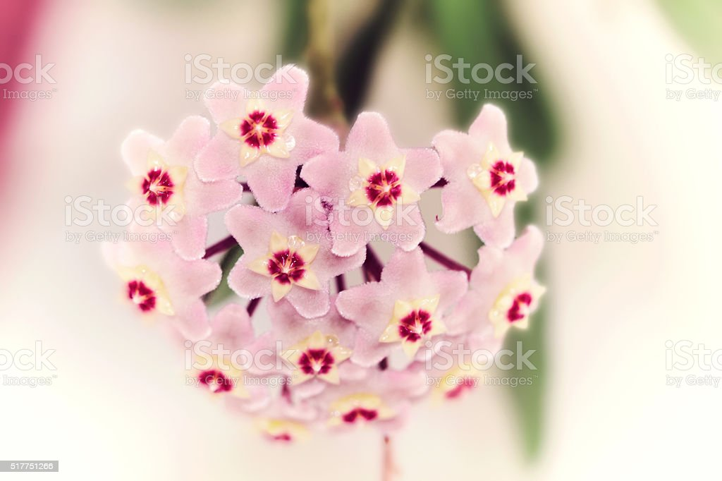 Hoya pink  flowers stock photo