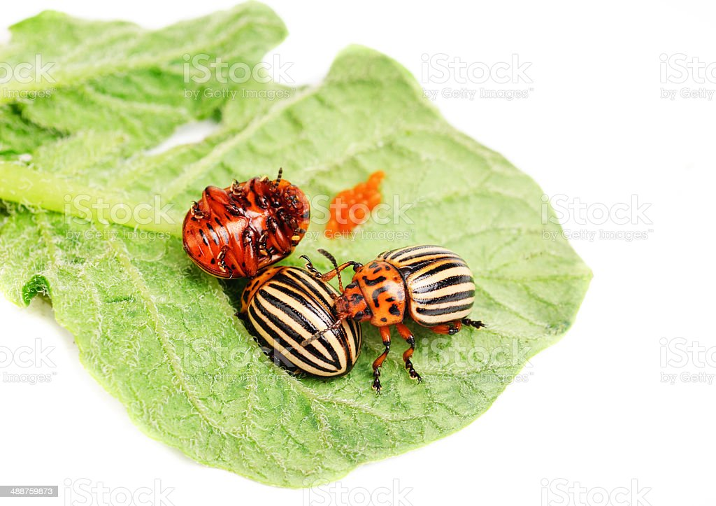 Тhree Colorado potato beetle on a leaf isolated on white stock photo