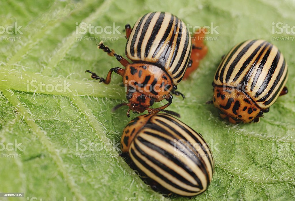 ?hree Colorado potato beetle on a leaf stock photo