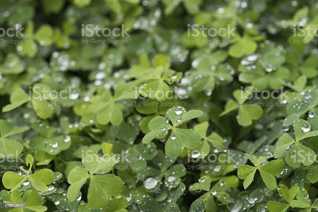 hree leaf clovers stock photo