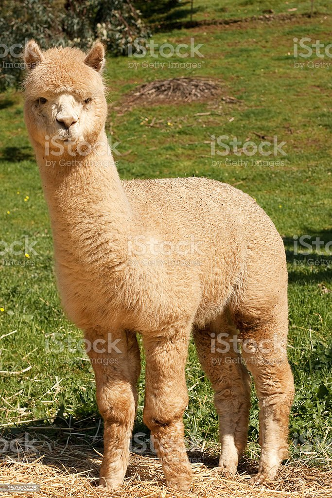Huacaya Alpaca (Vicugna pacos) royalty-free stock photo