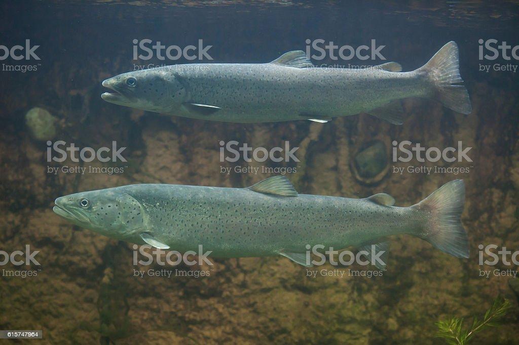 Huchen (Hucho hucho) or Danube salmon. stock photo