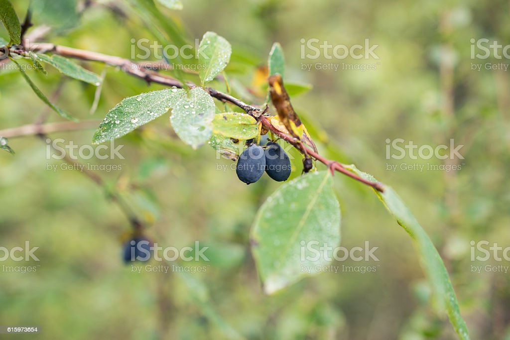 Huckleberries after rain in the Altai mountains, Russia stock photo