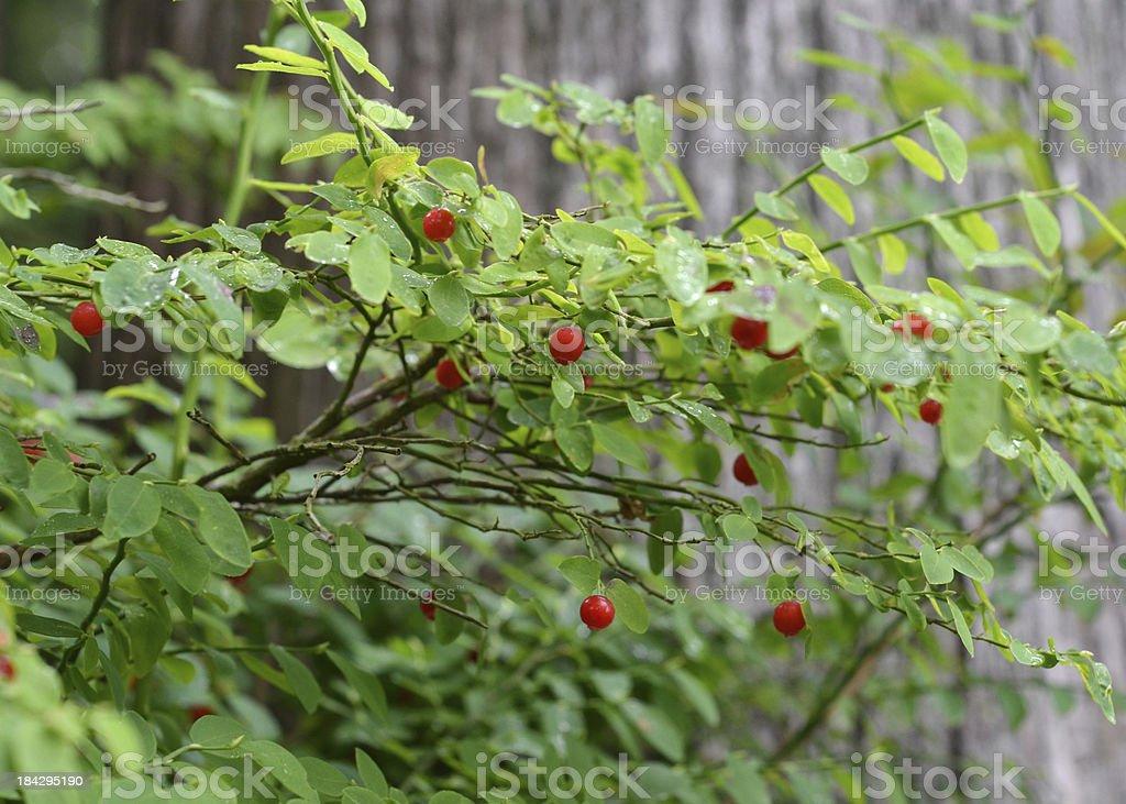 Huckleberry Bush stock photo