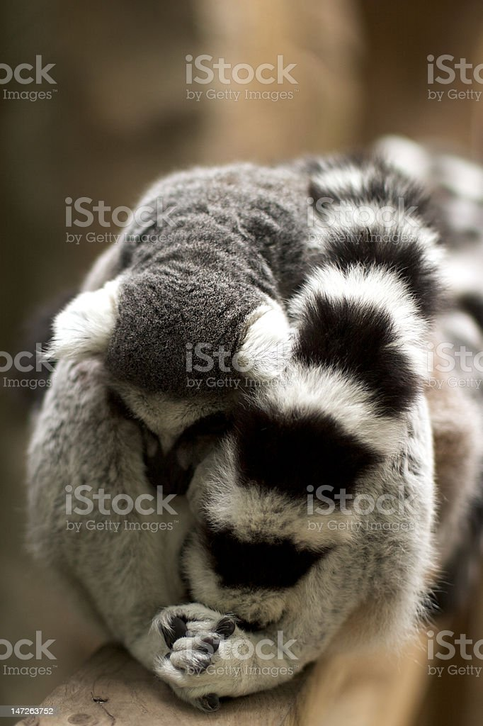 A huddle of ring-tailed lemurs (seen from front) royalty-free stock photo