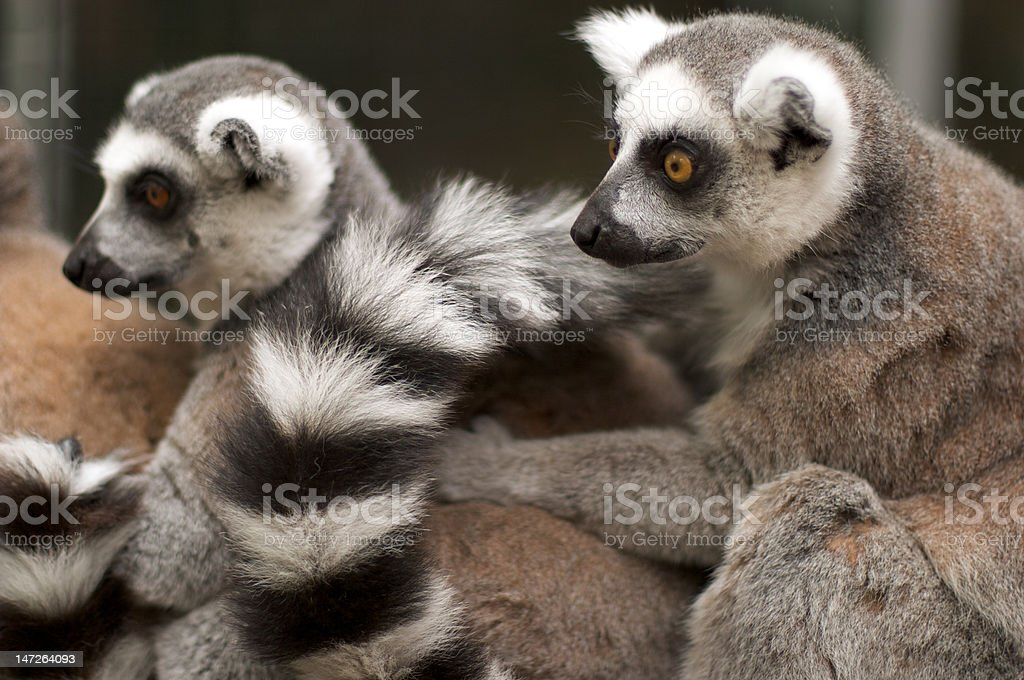 A huddle of ring-tailed lemurs (seen from side) royalty-free stock photo