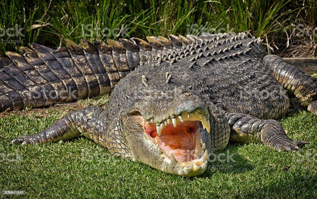 Huge 5-metre Saltwater Crocodile shows its teeth stock photo
