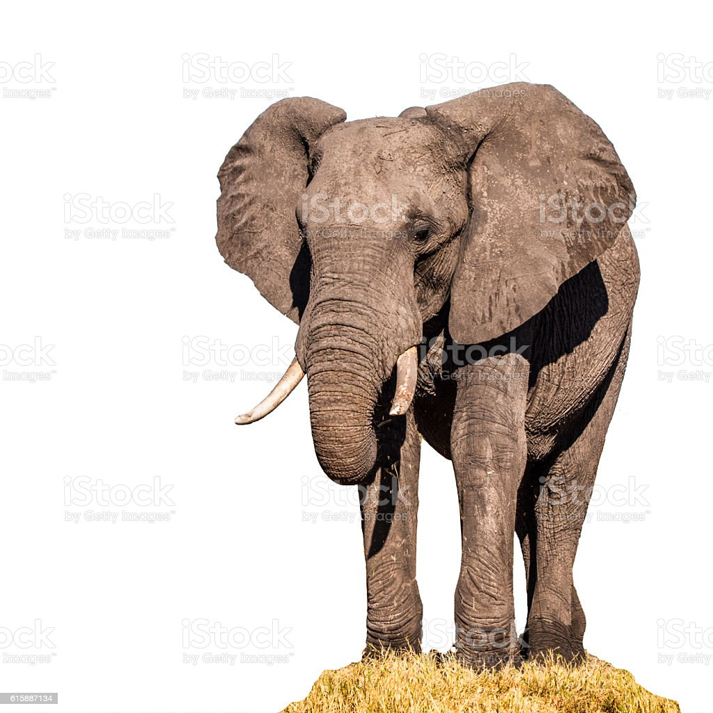 Huge african elephant isolated on white background stock photo