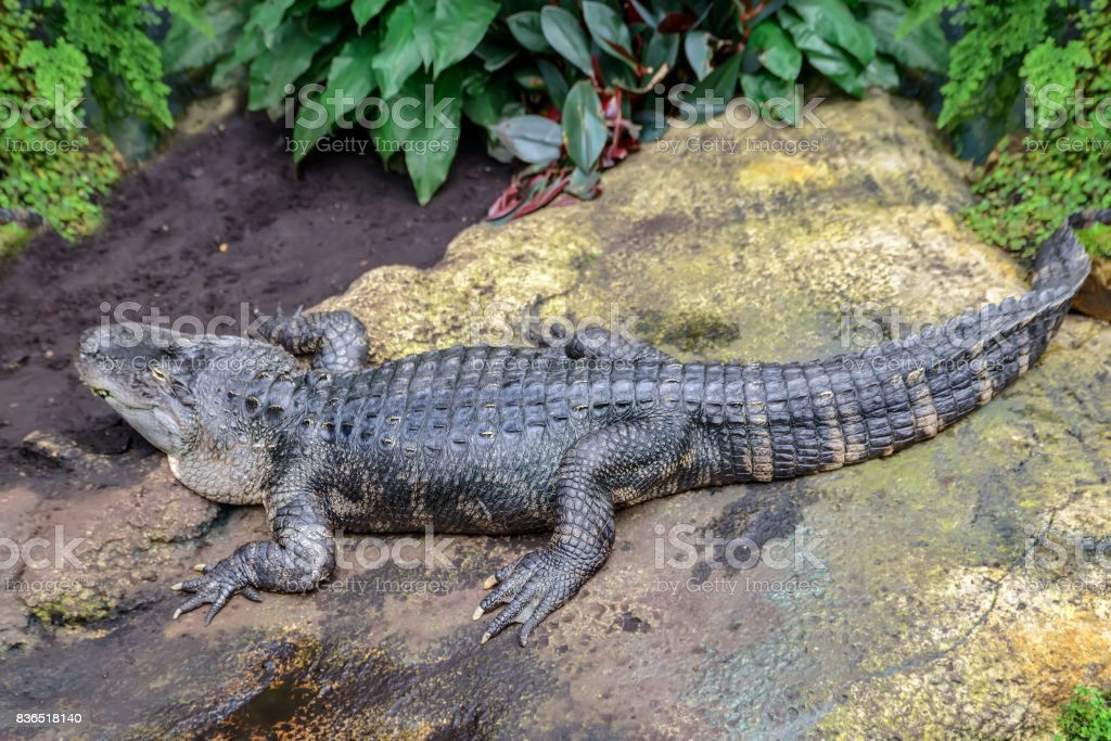 huge alligator lies on a rock in the jungle. stock photo