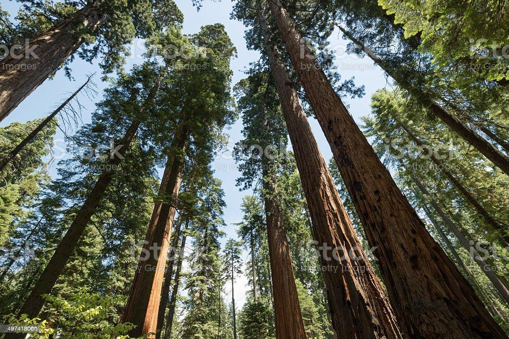 Riesigen, uralten Redwood-Bäume in den USA Lizenzfreies stock-foto