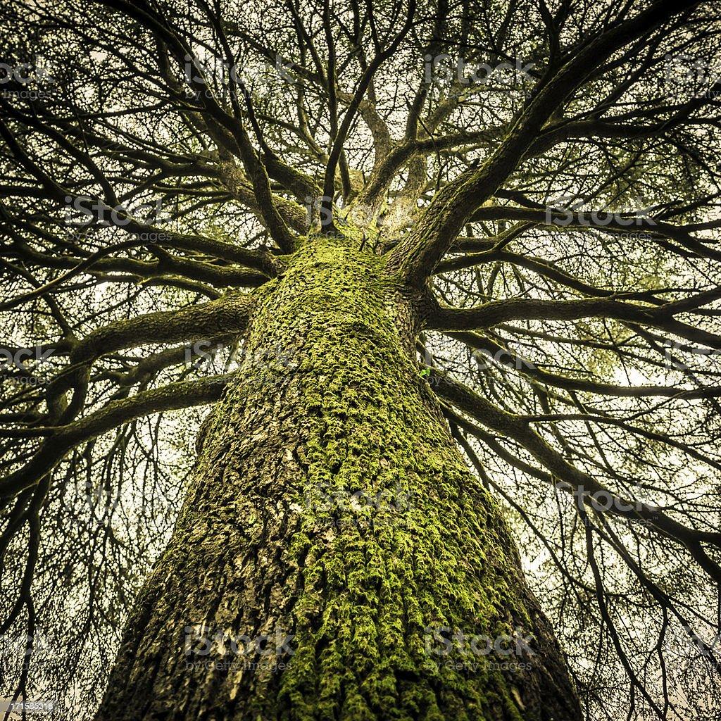 Huge Bare Tree, Creepy Mood stock photo