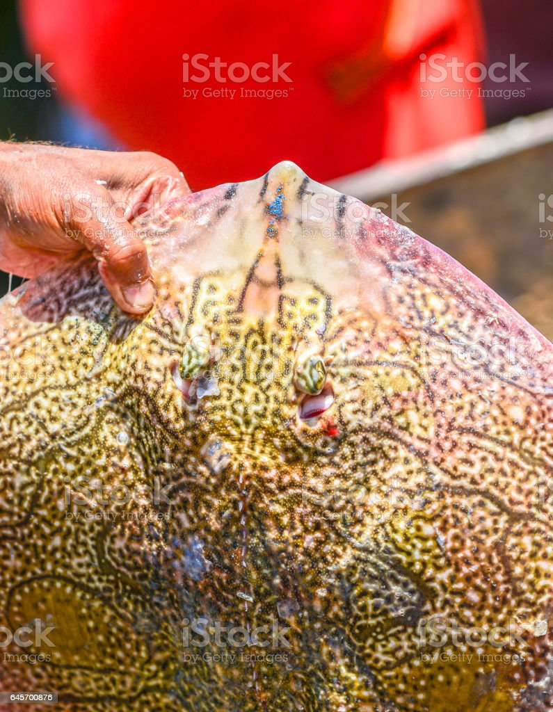 A huge beautiful ray fish in fisherman's hands stock photo