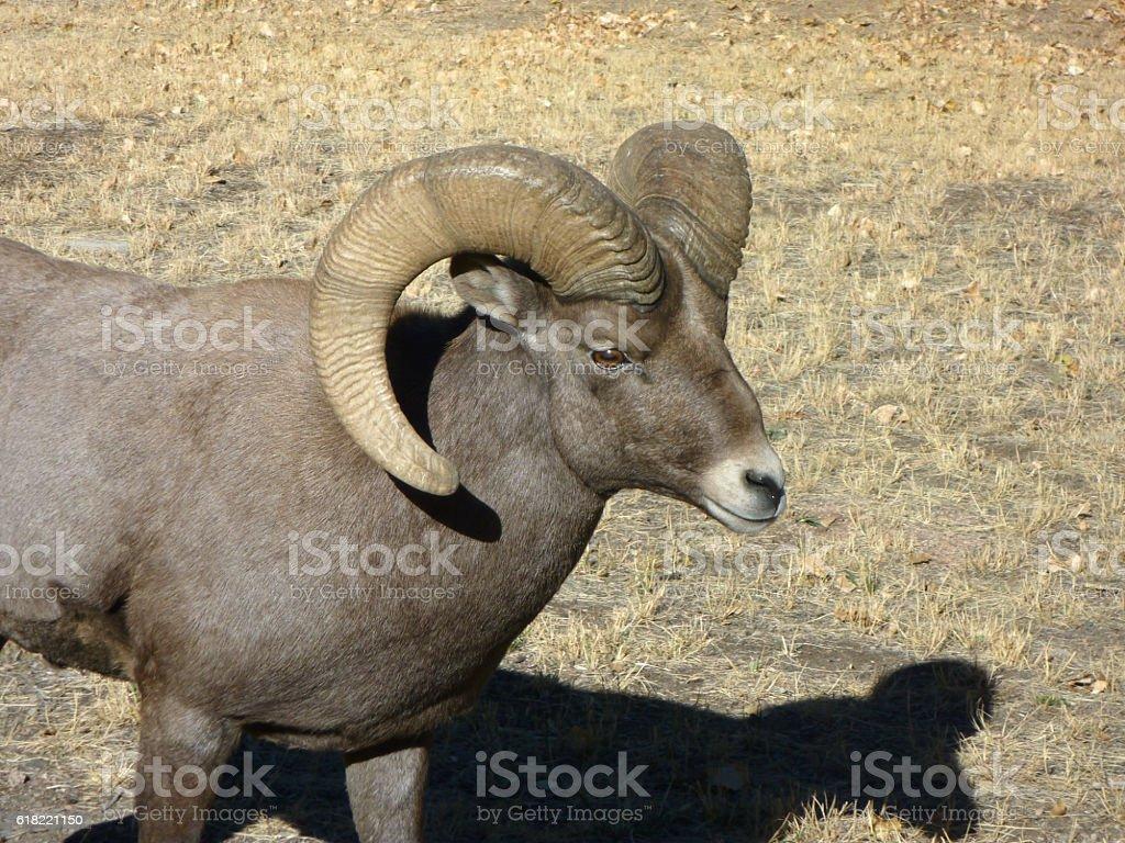 Huge bighorn ram walks Waterton Canyon Colorado stock photo