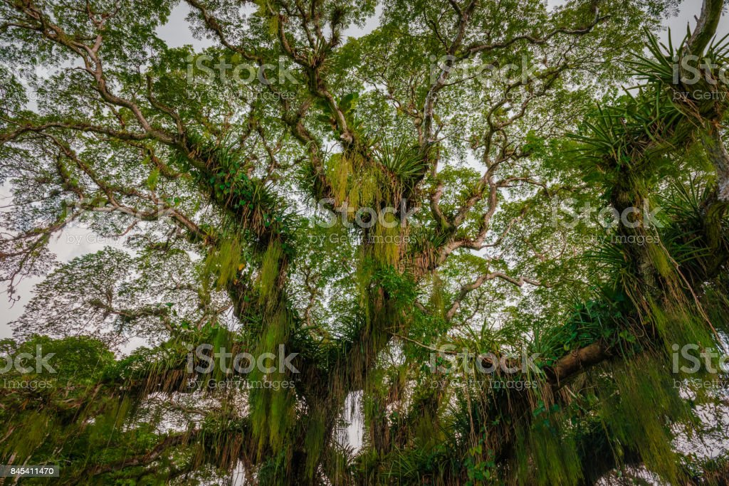 Huge broad tropical forest tree viewed from below Caribbean Trinidad stock photo