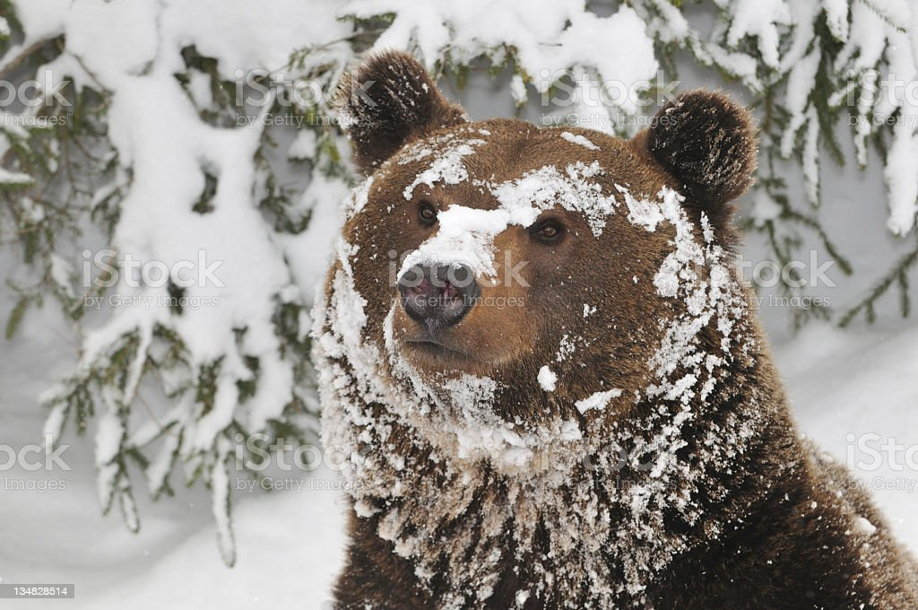 A huge brown bear covered in snow stock photo