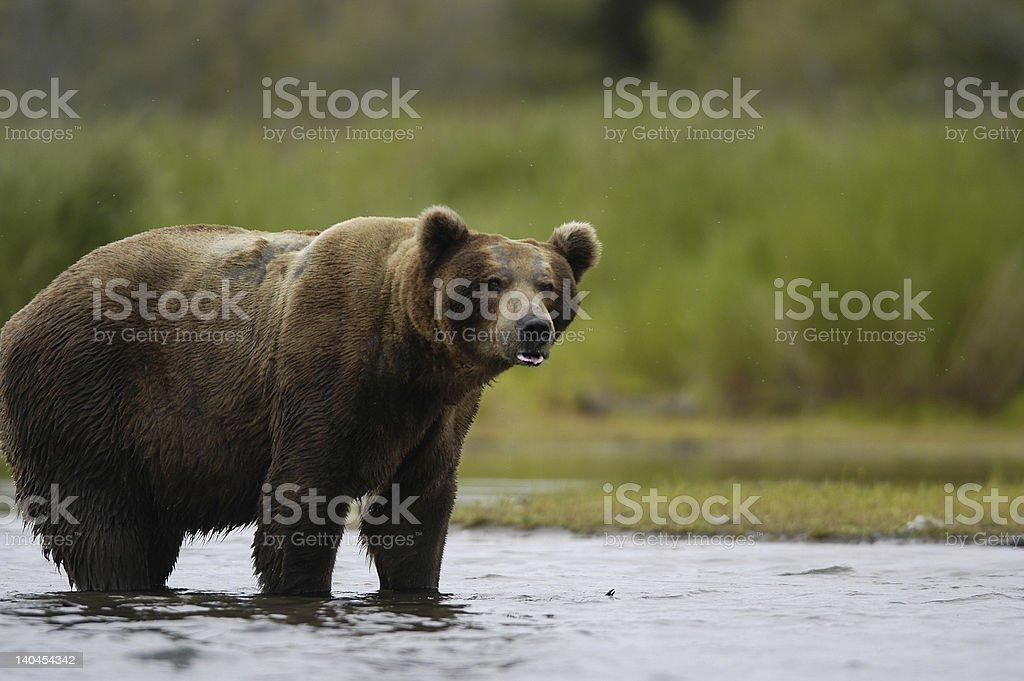 Huge brown bear standing in Brook River royalty-free stock photo