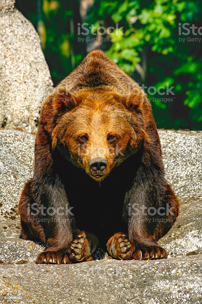 Huge brown bear with sad eyes sitting on rock stock photo